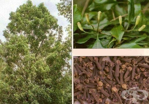 Карамфилово дърво, Карамфил подправка - изображение