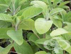Градински чай, Салвия, Какула, Конски босилек - изображение