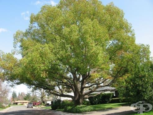 Камфорово дърво - изображение