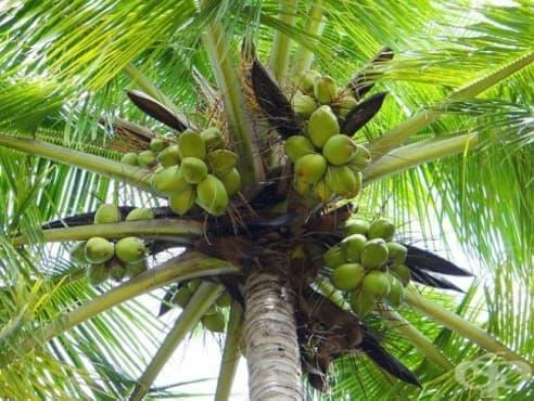 Кокосова палма - изображение