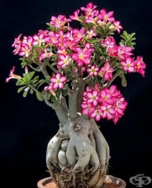 Пустинна роза - изображение