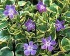 Зимзелен, Самодивско цвете, Зеленика - изображение