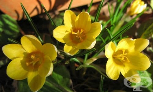 Златистоцветен минзухар, Златен минзухар, Балкански минзухар - изображение