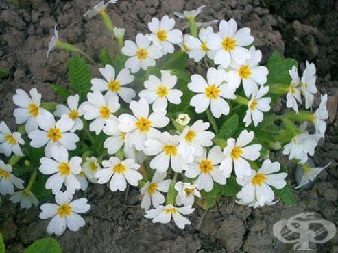Клас Magnoliopsida (Двусемеделни растения) - изображение