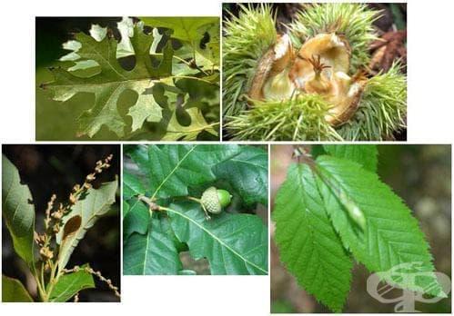 Сем. Fagaceae (Букови) - изображение