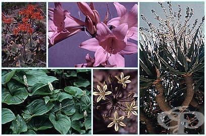 Разред Asparagales - изображение