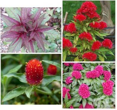 Сем. Amaranthaceae (Щирови) - изображение