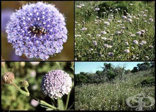 Сем. Apiaceae (Umbelliferae, Сенникоцветни) - изображение
