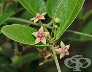 Сем. Apocynaceae (Зимзеленови) - изображение