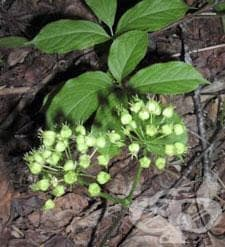 Сем. Araliaceae (Бръшлянови) - изображение