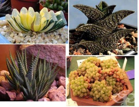 Сем. Asphodelaceae (Асфоделови) - изображение