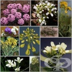 Сем. Brassicaceae (Кръстоцветни) - изображение