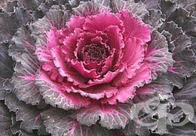 Разред Brassicales - изображение