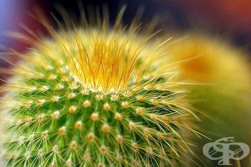 Сем. Cactaceae - изображение
