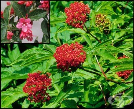 Сем. Caprifoliaceae (Бъзови) - изображение