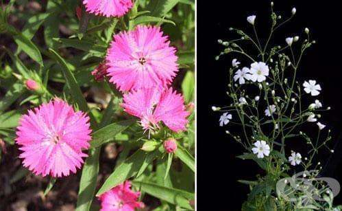 Сем. Caryophyllaceae (Карамфилови) - изображение