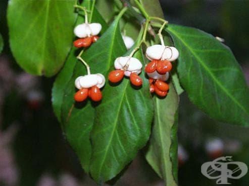 Сем. Celastraceae (Чашкодрянови) - изображение