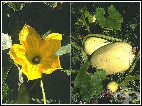 Сем. Cucurbitaceae (Тиквови) - изображение