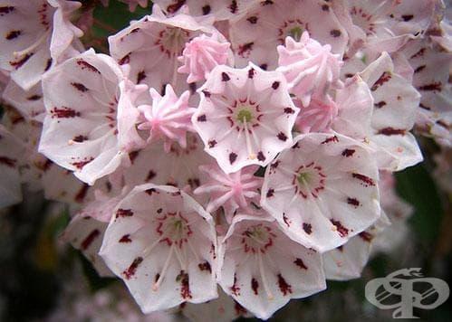Сем. Ericaceae (Пиренови) - изображение