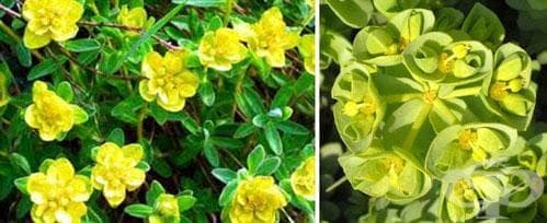 Сем. Euphorbiaceae (Млечкови) - изображение