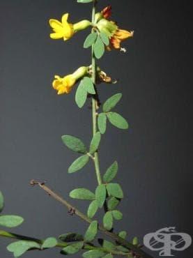 Сем. Fabaceae (Leguminosae, Бобови) - изображение