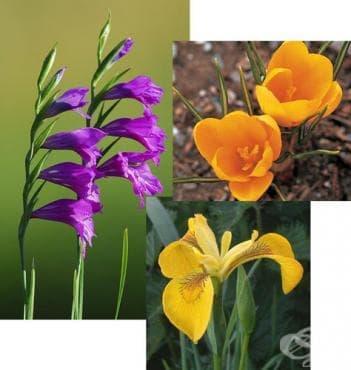 Сем. Iridaceae (Перуникови) - изображение