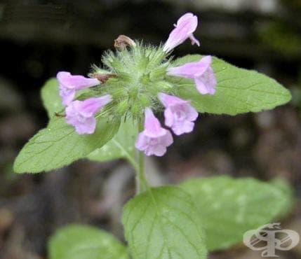 Сем. Lamiaceae (Устноцветни) - изображение