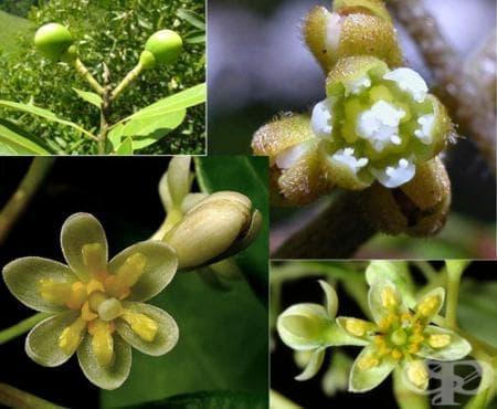 Сем. Lauraceae (Дафинови) - изображение