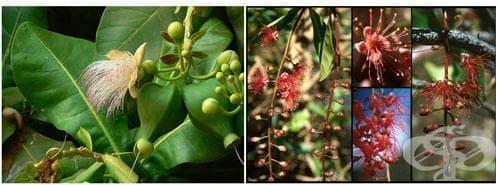 Сем. Lecythidaceae - изображение