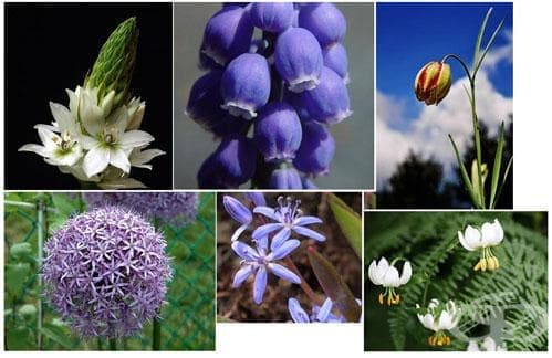 Сем. Liliaceae (Кремови) - изображение