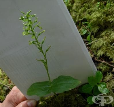 Клас Liliopsida (Едносемеделни растения) - изображение
