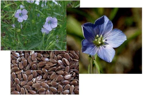 Сем. Linaceae (Ленови) - изображение