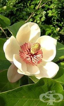 Разред Magnoliales - изображение