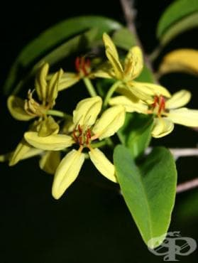 Сем. Malpighiaceae - изображение