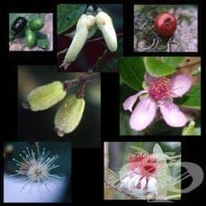 Сем. Myrtaceae (Миртови) - изображение