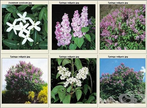 Сем. Oleaceae (Маслинови) - изображение