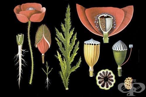 Сем. Papaveraceae (Макови) - изображение