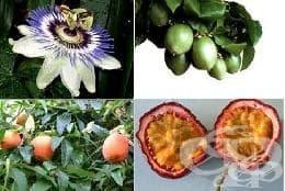 Сем. Passifloraceae - изображение