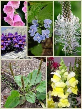 Сем. Plantaginaceae (Живовлекови) - изображение