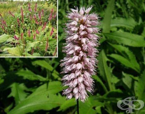 Сем. Polygonaceae (Лападови, Лапатови) - изображение