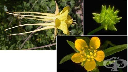 Сем. Ranunculaceae (Лютикови) - изображение