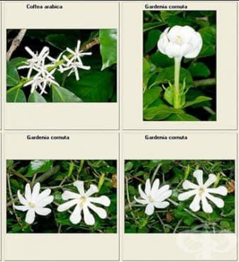Сем. Rubiaceae (Брошови) - изображение