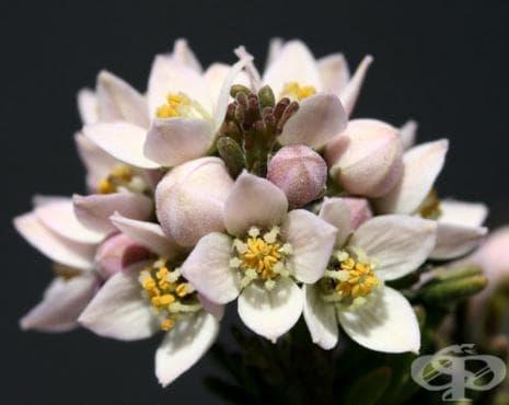 Сем. Rutaceae (Седефчеви) - изображение