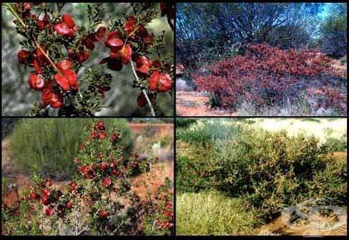 Сем. Sapindaceae - изображение