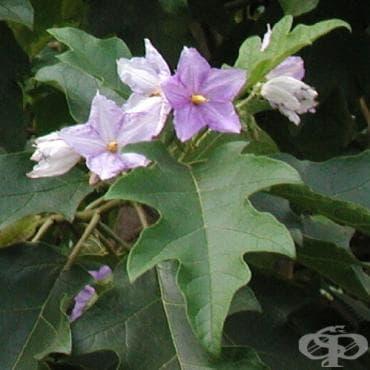 Сем. Solanaceae (Картофови) - изображение
