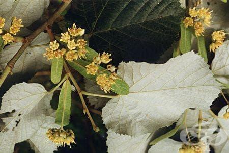 Сем. Tiliaceae (Липови) - изображение