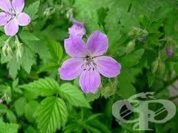 Сем. Violaceae (Теменугови) - изображение