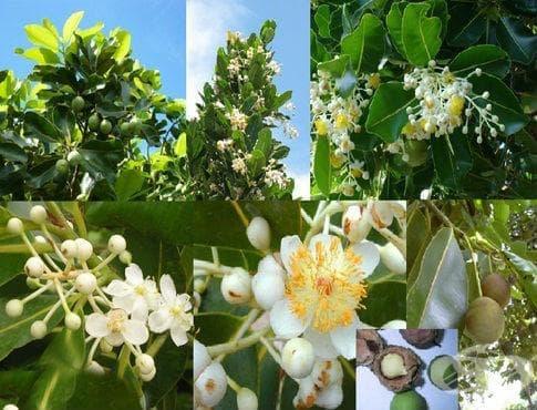 сем. Calophyllaceae - изображение
