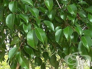 Сем. Moraceae (Черничеви) - изображение