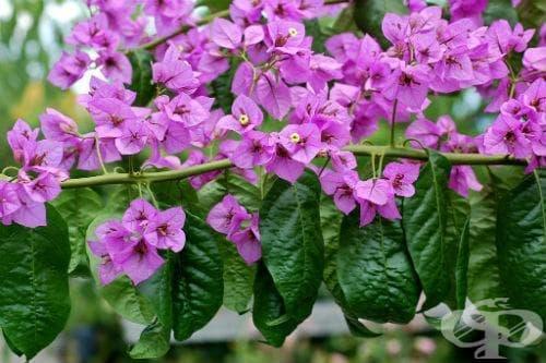 сем. Nyctaginaceae - изображение